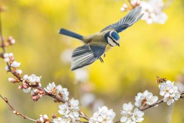 Der Singvogel Blaumeise und das Insekt Wollschweber an einer blühenden Blutpflaume zeigen, dass endlich Frühling ist