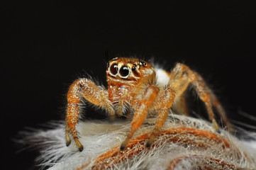 Close up  beautiful jumping spider  - Stock Image