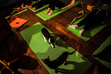 Cats sit on a yoga mat during a cat yoga class at Brooklyn cat cafe in Brooklyn