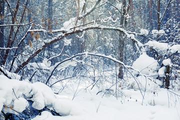 Winter forest scene. Frosty landscape, snowy trees