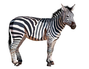 African zebra on white background vector illustration