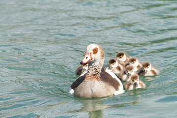 Egyptian goose swimming with Goslings. Egyptian geese were considered sacred by the Ancient Egyptians, and appeared in much of their artwork.