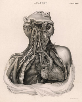 Dissection of Upper Torso, Showing the Heart
