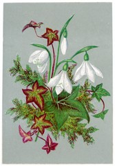 Galanthus Snowdrop and Ivy