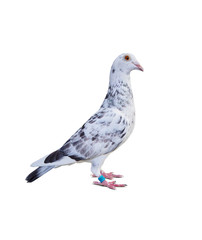 full body of grizt color speed racing pigeon bird isolate white background