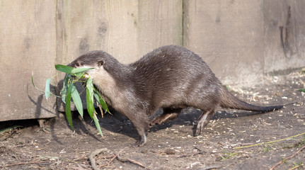 Small claw otter gathering nest material