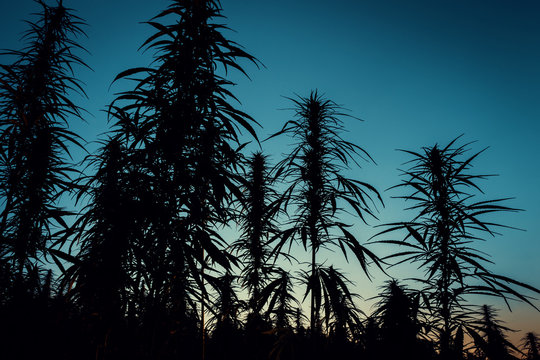 Cannabis Plants Silhouette with Sunset Sky on Background