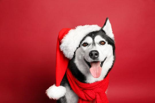 Adorable husky dog in Santa hat on color background