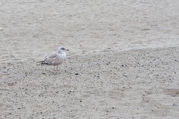 Mewa srebrzysta (Lorus Argentatus) na plaży w Sopot, Polska