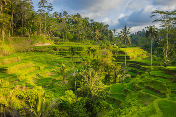 Garden Poster Rice fields 08-10-2018, Tegallalang Rice Terraces, Gianyar Regency, Bali, Indonesia. Rice Terraces Eco park