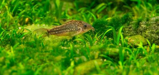 Catfish Corydoras in an aquarium close up