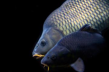 carp fish - Cyprinus carpio close up in the detail