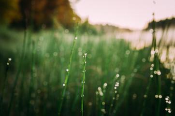 Gras im Morgentau am Flussufer