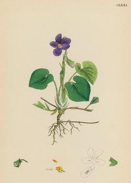 PlantsViola Odorate or Sweet Violet