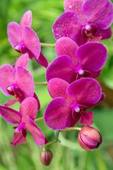 Orchid flower pink purple in tropical florist shop