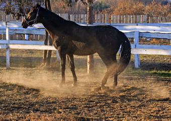 Portrait black horse game dust