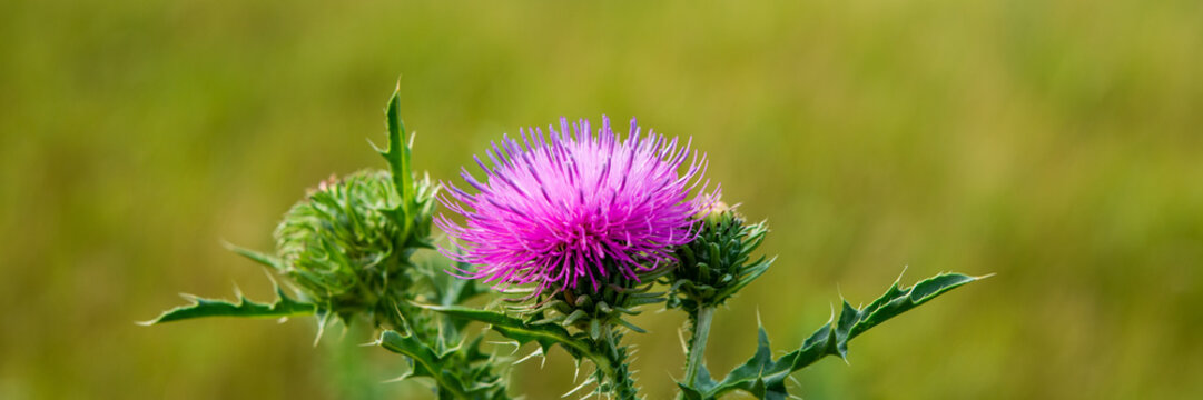 Blooming pink thistle flower in a meadow on a sunny day.