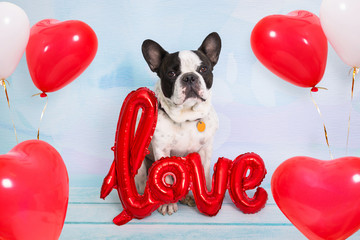 French bulldog with love shape balloons