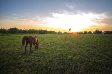 Landscape of brown horse grazing in a meadow at sunset.