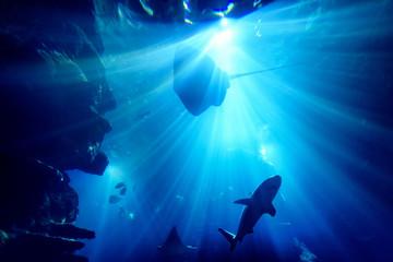 Silhouette of manta ray in aquarium