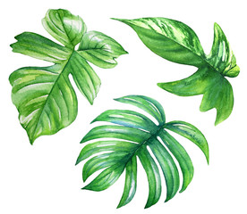 Set of watercolor philodendron leaves. Realistic drawing of tropical plants.
