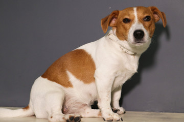jack russell terrier sitting on white background