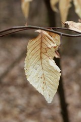 A single brown leaf on a tree branch and a close view.