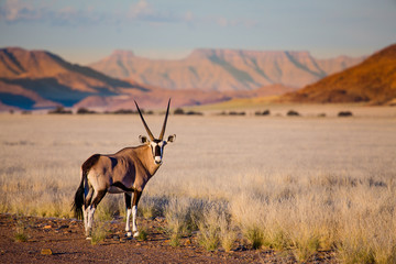 Fotobehang Antilope Oryx antelope and orange dunes in Sossusvlei - Namib - Namibia