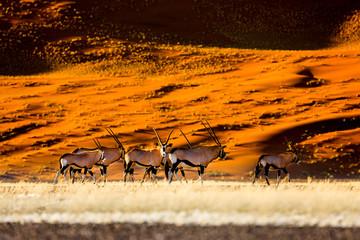 Oryx antelope and orange dunes in Sossusvlei - Namib - Namibia