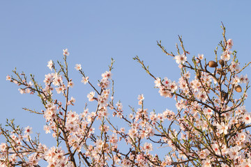 Almond tree flowering with fruits