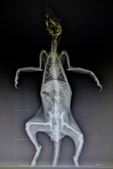 X-ray images of wild animal