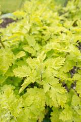 feverfew plant