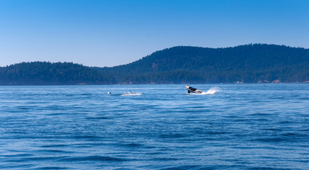 An Orca is jumping out of the water. Picture taken near Vancouver Island.