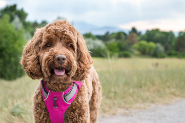 Cute, brown puppy dog smiling on trail in pink harness