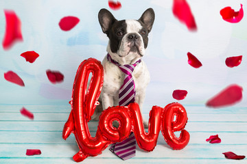 French bulldog with love shape balloon and falling rose petals