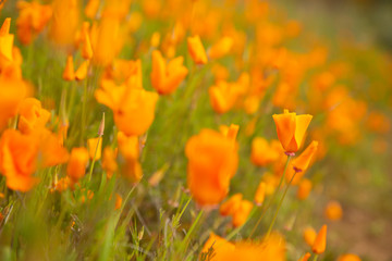 Golden poppies fields in Walker Canyon Lake Elsinore spring 2019