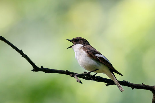 European pied flycatcher male singing on branch of birch tree. Cute black white common park songbird. Bird in wildlife.