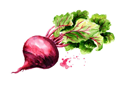 Fresh Beetroot with green leaves. Watercolor hand drawn illustration, isolated on white background