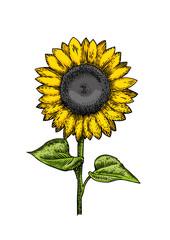 Whole sunflower