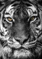 Photo sur Plexiglas Tigre portrait of a tiger
