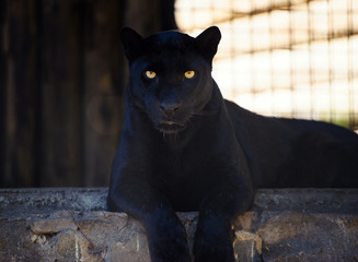 Keuken foto achterwand Panter beautiful black panther
