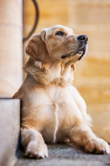 Young golden retriever on a stairway