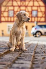 Young golden retriever in the city