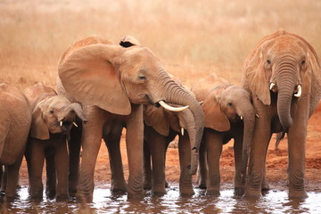 A group of elephants at a waterhole in Kenya