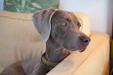 Close up of weimaraner relaxing on sofa