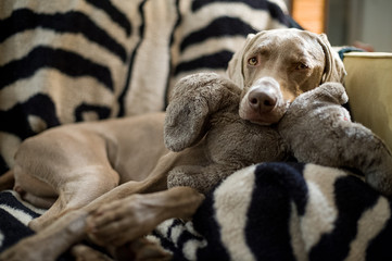 Close up of dog relaxing on sofa