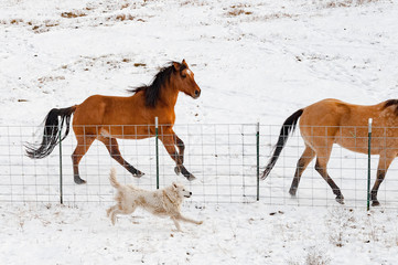 Horses running with dog on farm during winter