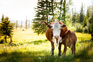 Cow feeding calf in grassy field