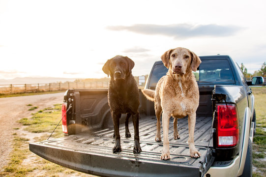 Portrait of dog standing in pickup truck