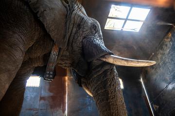African elephant in truck
